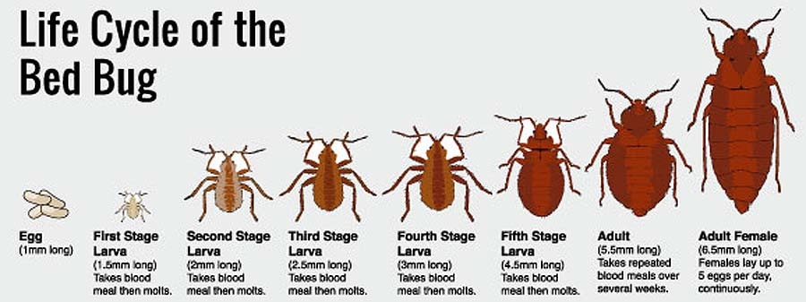 What Is The Bed Bug Life Cycle