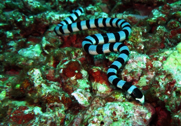 Koh Bon, West Ridge - Black Banded Sea Snake (2)