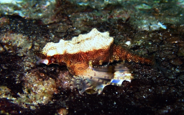 Similan Islands, Deep Six - Sea Moth (1)